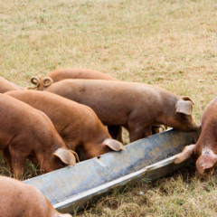 Pig's Feeding Time